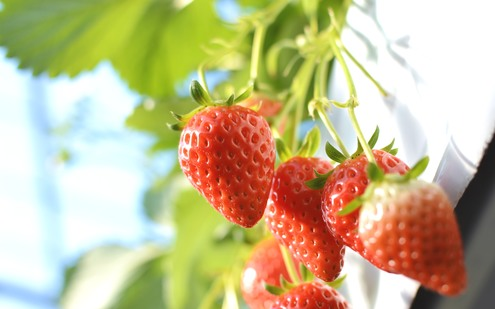 イチゴの写真