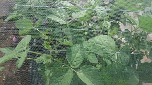 三鷹台の枝豆 まめ類 マメ科 エダマメ