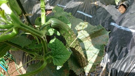 三鷹台のキュウリ 果菜類 ウリ科 キュウリ