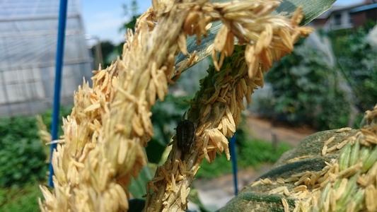 三鷹台のトウモロコシ 穀物類 イネ科 トウモロコシ