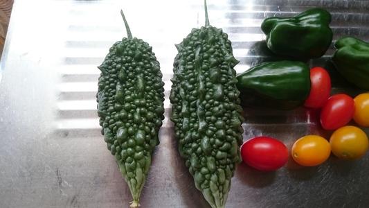 グリーンカーテン 果菜類 ウリ科 ツルレイシ