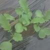 thorikiriさんが投稿したダイコンの写真
