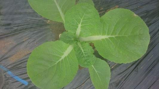 三鷹台のハクサイ 葉菜類 アブラナ科 ハクサイ