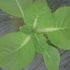 thorikiriさんが投稿したハクサイの写真