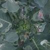 thorikiriさんが投稿したブロッコリーの写真