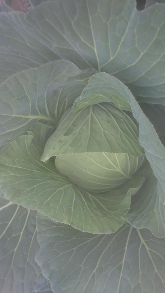 三鷹台のキャベツ 葉菜類 アブラナ科 キャベツ