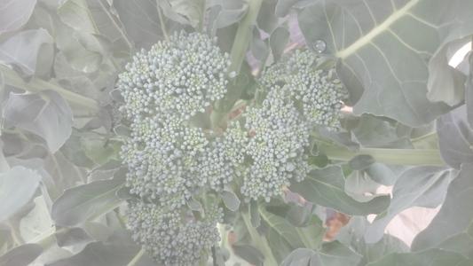 三鷹台のブロッコリー 花菜類 アブラナ科 ブロッコリー