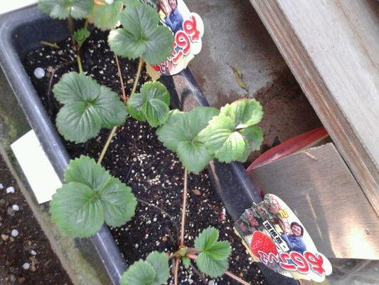 ベランダのイチゴ姫 果実的野菜 バラ科 イチゴ