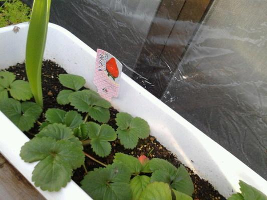 ベランダのイチゴちゃん 果実的野菜 バラ科 イチゴ