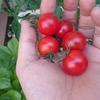thorikiriさんが投稿したミニトマトの写真