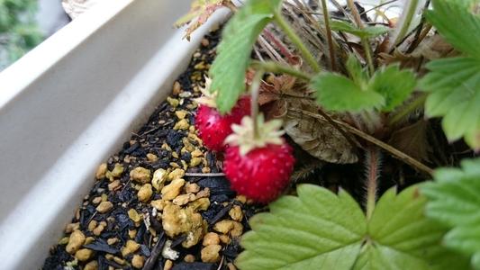 ベランダのワイルドベリー 果実的野菜 バラ科 イチゴ