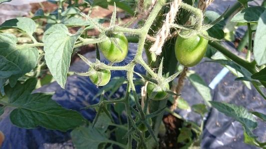 三鷹台のミニトマト 果菜類 ナス科 ミニトマト