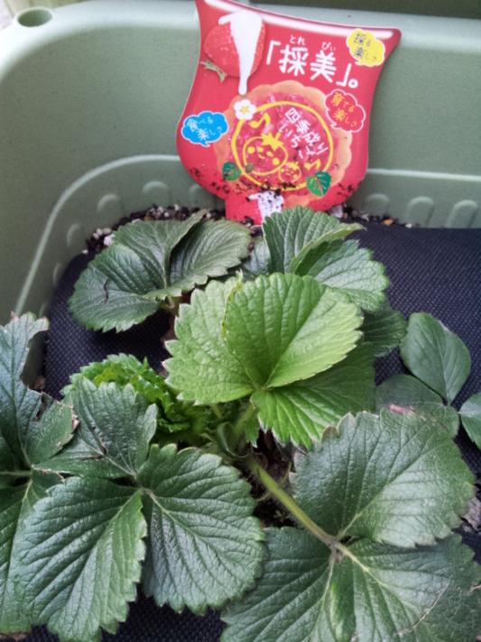 いちご庭 果実的野菜 バラ科 イチゴ