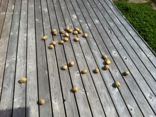 ジャガイモ いも類 ナス科 ジャガイモ