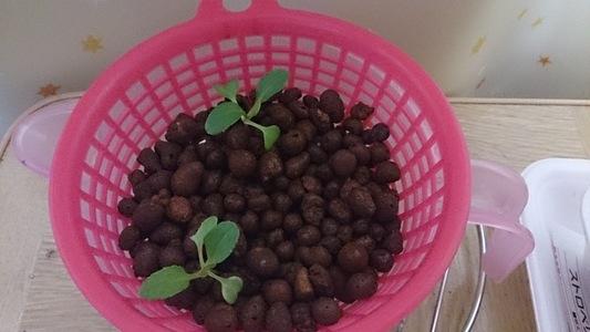 自宅2階の窓 葉菜類 アブラナ科 チンゲンサイ