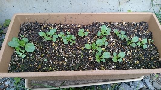 玄関先のプランターの小松菜 葉菜類 アブラナ科 コマツナ