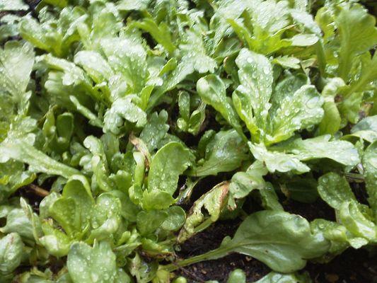 小さな畑1 葉菜類 キク科 シュンギク