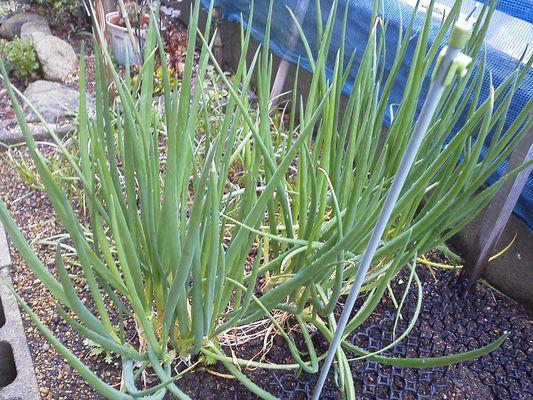 小さな庭4 茎菜類 ヒガンバナ科 ワケギ