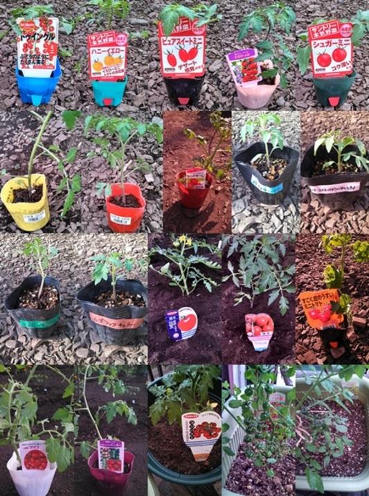 貸農園(トマト) 果菜類 ナス科 トマト