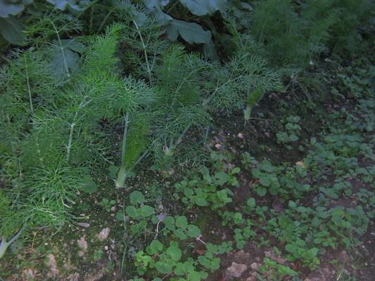 庭① 葉菜類 セリ科 フェンネル