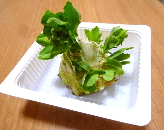 キャベツ太郎 葉菜類 アブラナ科 キャベツ