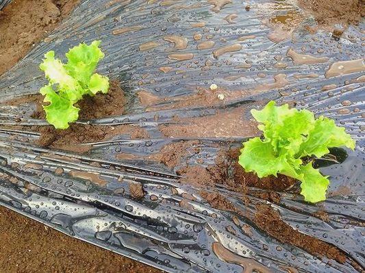 ライン7-2 葉菜類 キク科 レタス