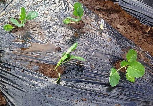 ライン7-1 葉菜類 アブラナ科 キャベツ