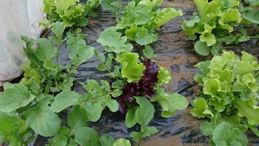 三鷹台のベビーリーフ 葉菜類 その他 ベビーリーフ